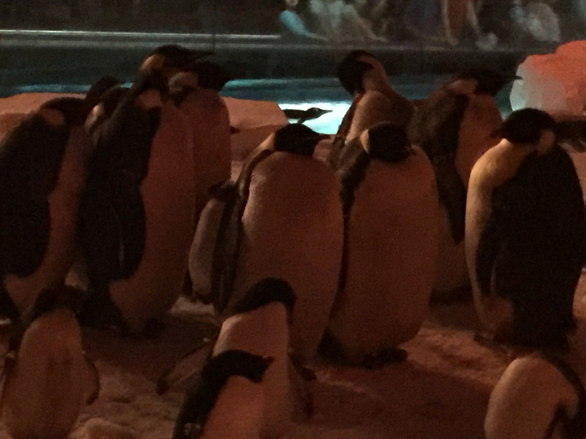 Emperor Penguins. They can be up to 90 lbs.
