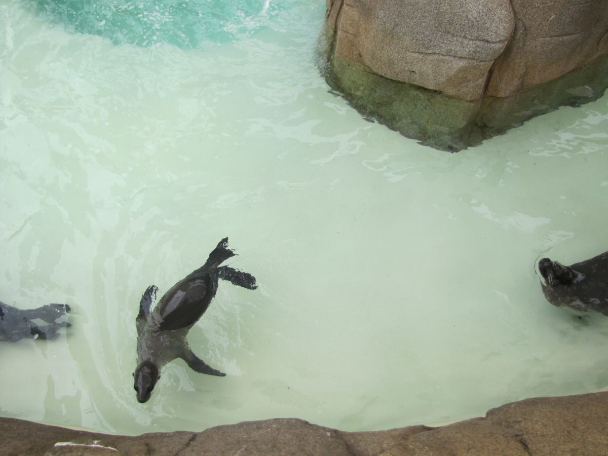 A Sea Lion is swimming (and probably trying to con me out of more fish)