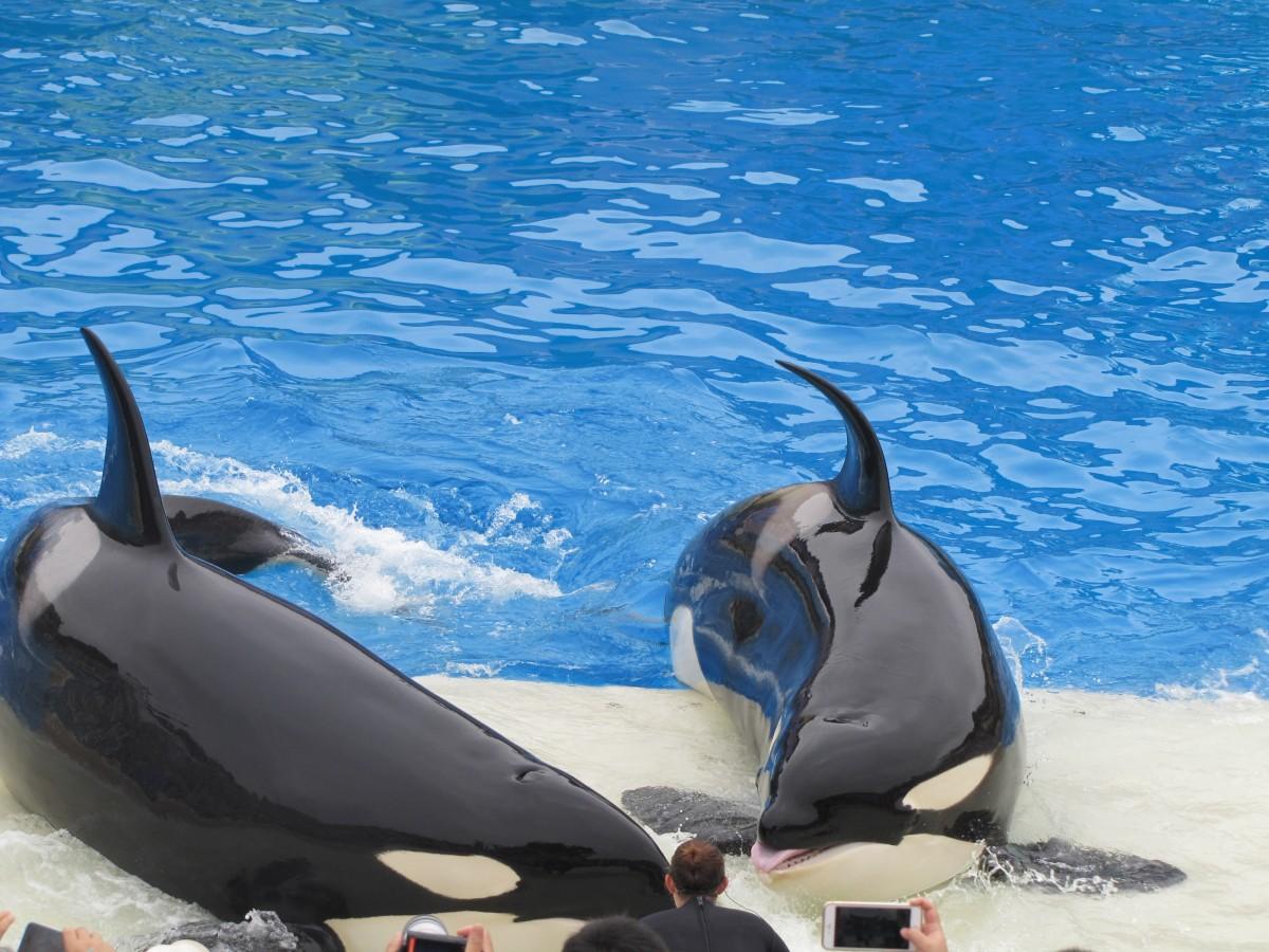Adorable Orcas stick tongues out!