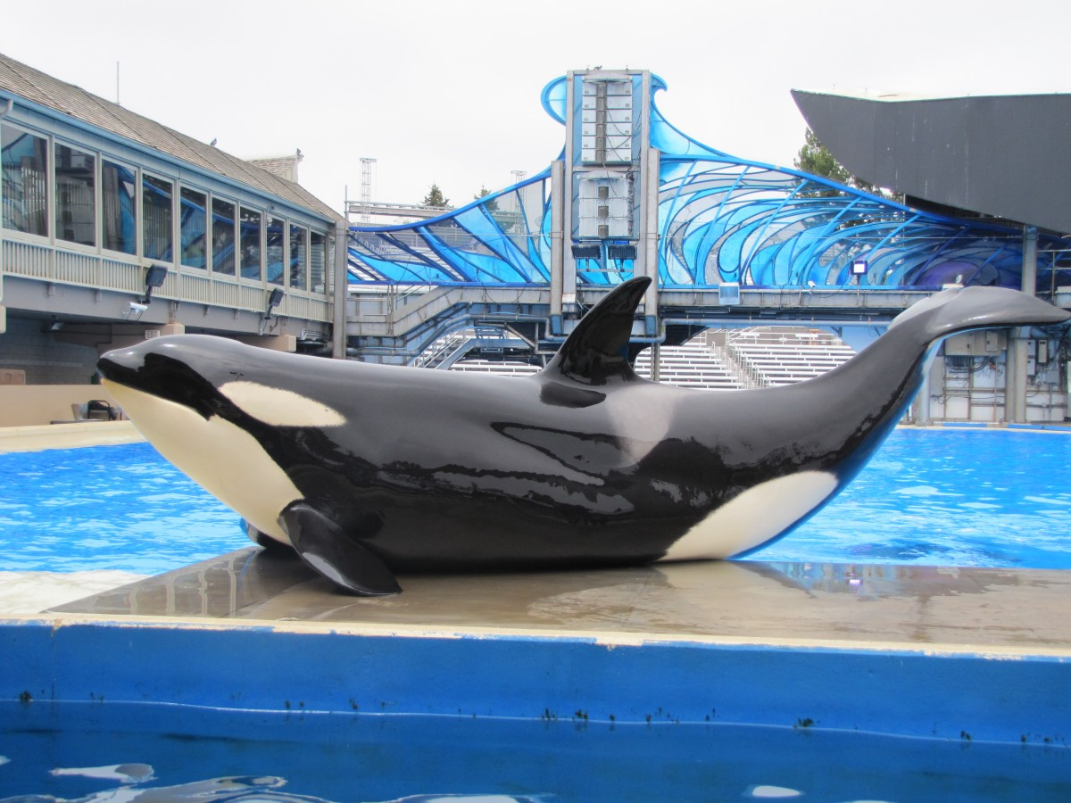 A Killer Whale participates in it's healthcare with a weigh in