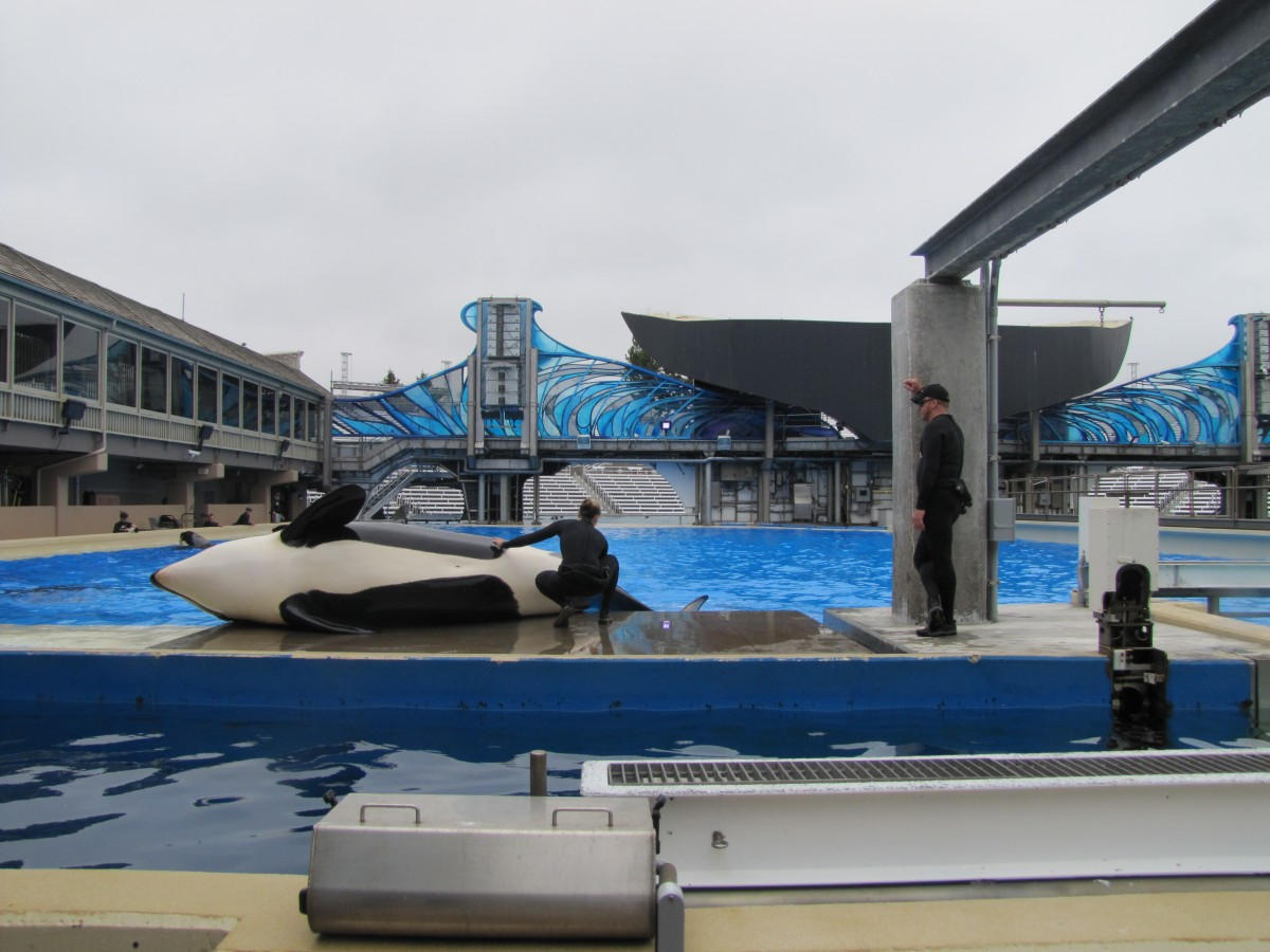 Killer Whales are trained to give urine samples