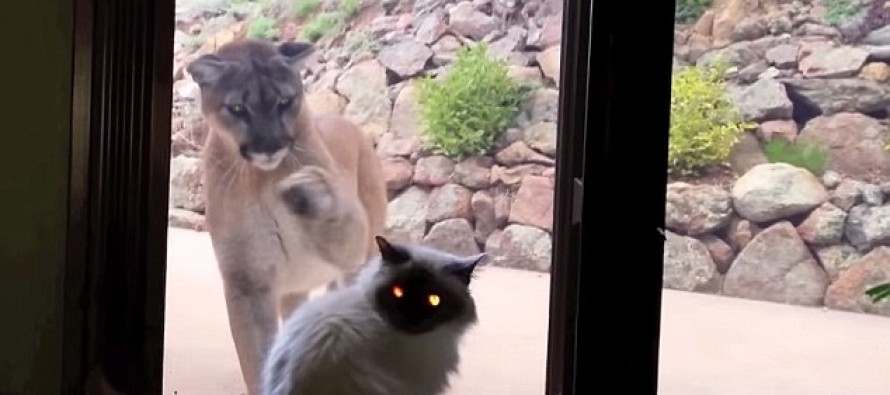 [VIDEO] Brave Housecat Goes Face-to-Face with Mountain Lion