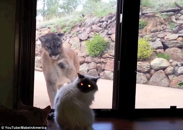 Mountain Lion VS HouseCat