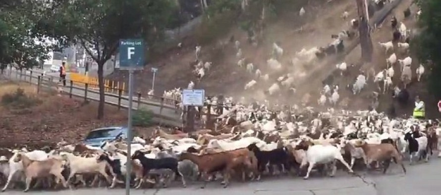 Ever wondered what 800 goats charging downhill looks like? Watch this stampede and see