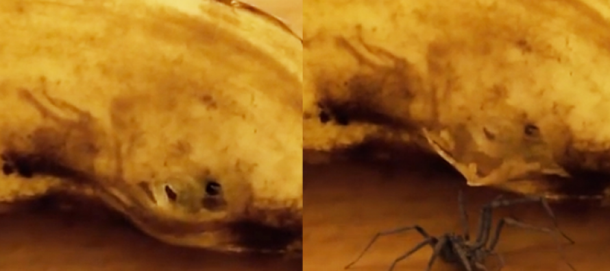 WATCH: The Crazy Moment a Huge Spider Pops Out of a Banana This Dude Was About to Eat!