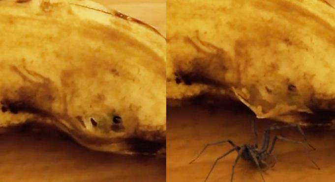 spider banana