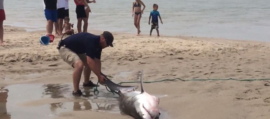 Dramatic video of the moment a thrashing great white SHARK washed up on Cap Cod that had to be rescued
