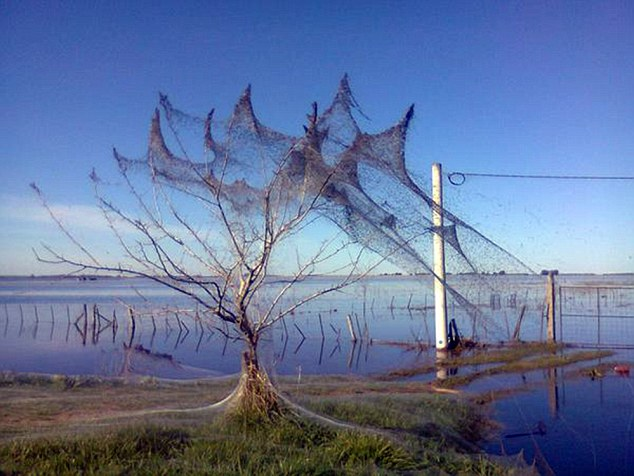 """Pic shows: The blanket of spider webs that has covered every surface in a location in South America. A blanket of spider webs has virtually covered every surface in a location in South America. The terrifying spider invasion happened in the El Destino area, a collection of rural villages and hamlets which are some 10 miles from the city of Lezama in Argentina. Locals say that recent heavy rains resulted in the sudden appearance of millions of spiders, which it is believed migrated into the town to escape flooding in lower regions. Once there they instantly started building webs adding to the threads already used by the spiders to parachute into the area. The spiders use the threads to fly on the breeze I can travel several kilometres to safe ground in the process known as ballooning. Video footage shot by locals and posted online shows thousands of spiders which they say wove a dense fabric on trees, poles and traffic signs. The unusual sight is known as """"baba del diablo"""", which translates as """"slime of the devil"""" and the floods which meant 2000 people needed to flee their homes are being blamed. Local officials have said the spiderwebs are nothing to be worried about in the spiders that made them are harmless. Locals however said it was never usually this bad and the last time there had been something similar had been in the 80s where there was an invasion of insects, although this time it was in September. (ends)"""