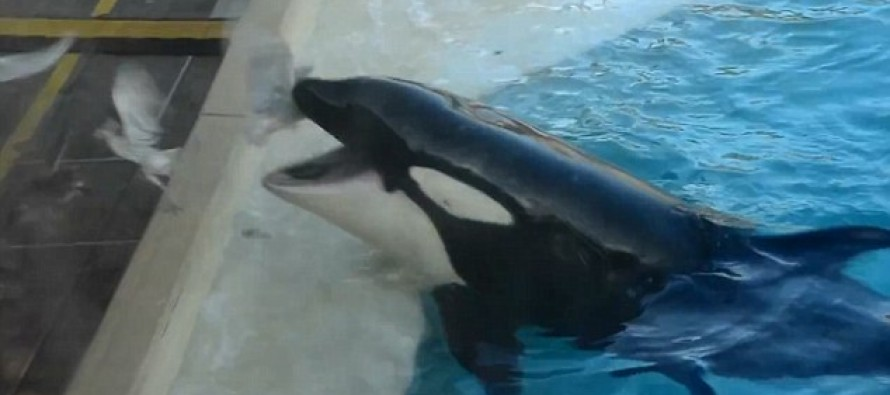 Creepy Video: Killer whale at SeaWorld San Diego lures birds close with fish and then eats them