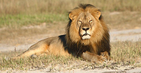 Oxford Research Study Of Cecil The Lion Was Paid For By Pro-Hunting Group