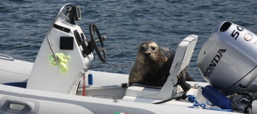 Resourceful seal leaps onto family's dinghy and avoids killer whales