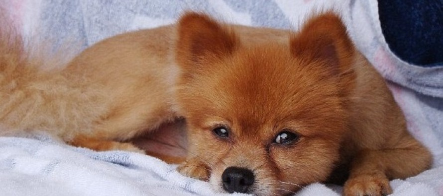 Horrific Note Left On Top Of A Pomeranian That Was Found Dead With 10 Cracked Ribs & Broken Spine