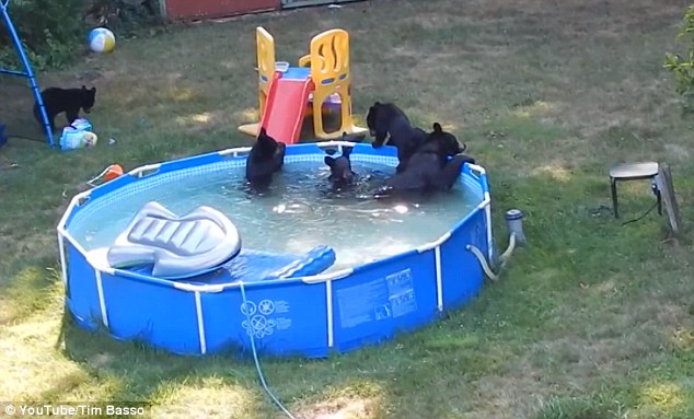 bears destroy toys in pool