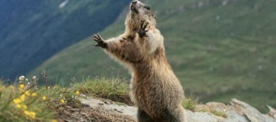 VIDEO: Are You Intimidated By This Screaming Marmot?