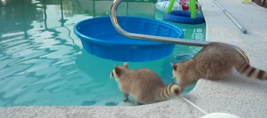 Raccoon acts very concerned about his brother swimming in pool
