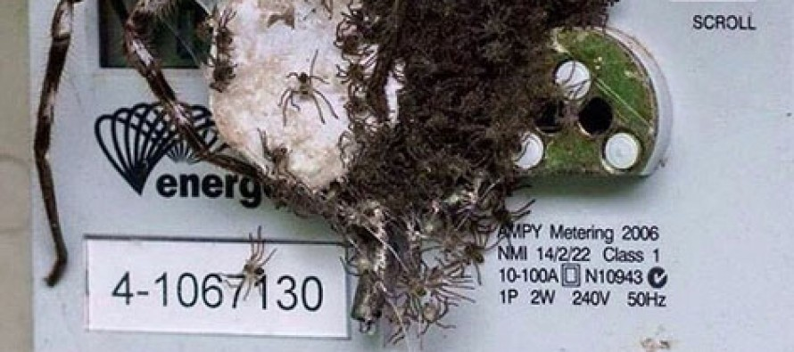 Massive wolf spider gives homeowner a shock with HUNDREDS of its creepy babies