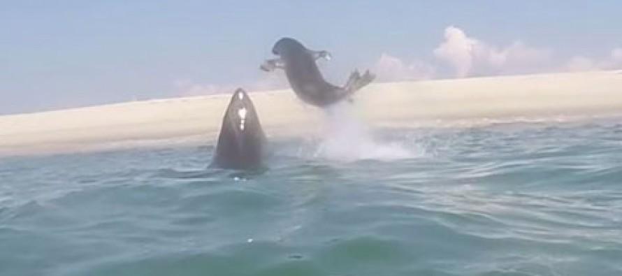 Amazing Video! White Shark: 0, Seal 1