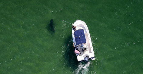 CAREFUL! Great White sharks pictured swimming just a few feet from shore