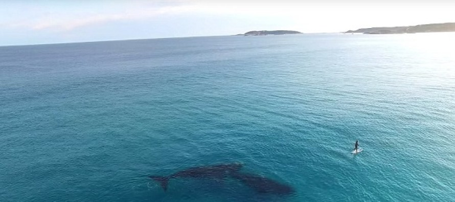 Incredible Drone Footage Captures The Moment Two Huge Whales Approach A Paddle Boarder