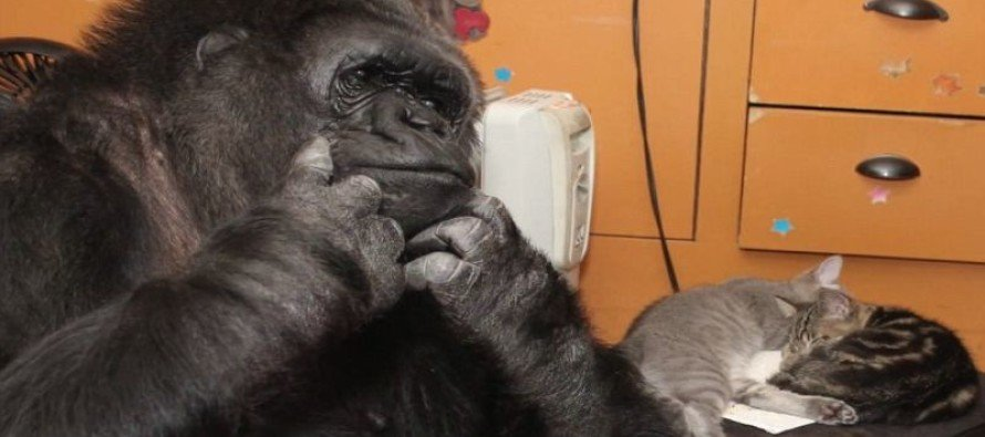 Watch Gorilla Koko Use Sign Language to Tell Trainers She Has Adopted Two Tiny Cats [VIDEO]