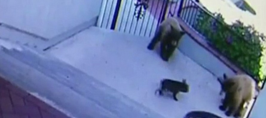 HILARIOUS VIDEO: Three Bears Get Chased Off A Property By A Tiny French Bulldog