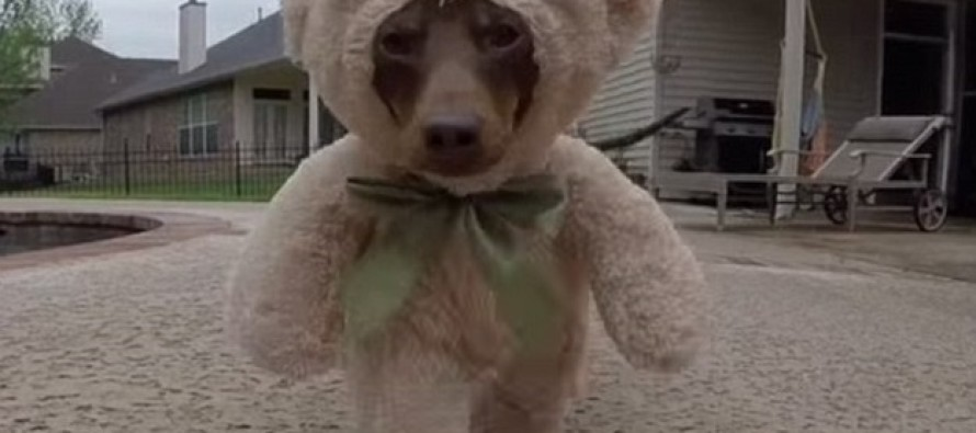 CUTE OVERLOAD VIDEO: Dachshund Running Around Dressed Up As Teddy Bear is Adorable!