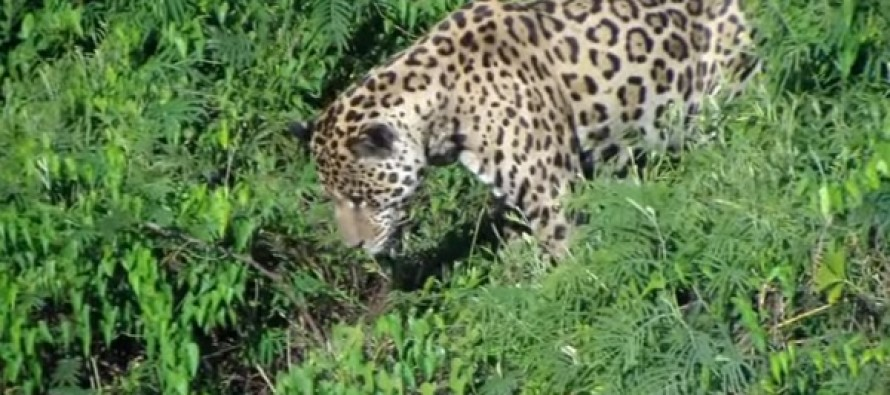They're Videoing A Jaguar WHEN HE LEAPS INTO WATER OVER HIS HEAD and Then They're SHOCKED When…