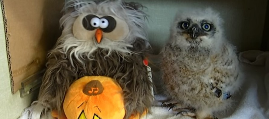 "This Baby Owl Dancing To ""Monster Mash"" With a Fake Owl Has Just Won Halloween"