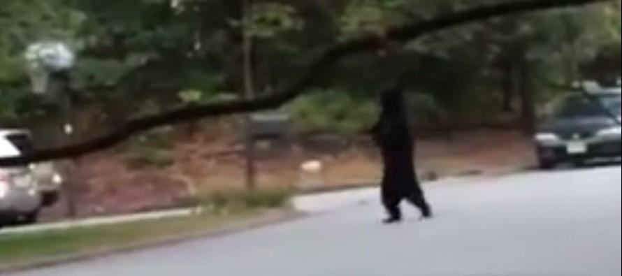 CREEPY: Bear Walks Around Neighborhood on Two Legs