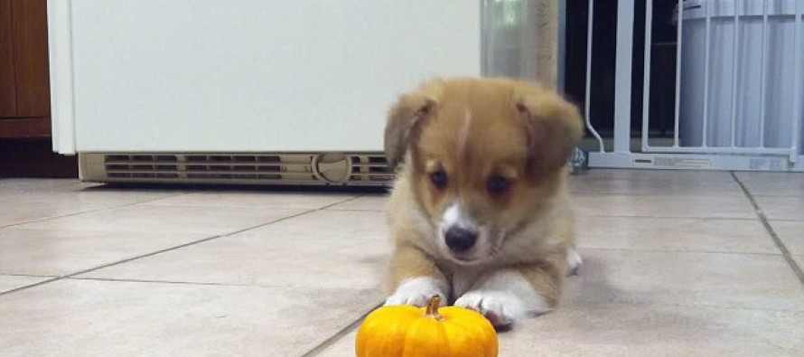 VIDEO: Scared puppy adorably attacks a pumpkin