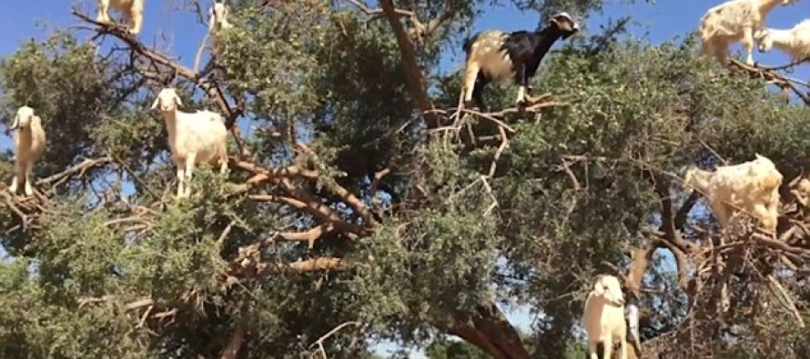 Incredible video shows goats perched precariously 16ft up a tree in bid to get to their favourite food