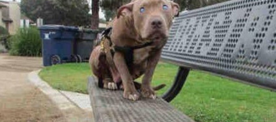 Scared, blind pitbull was dumped by owners on a park bench — but love came to her rescue