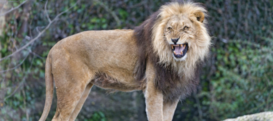 A Girl Was Reportedly Saved From Kidnapping And Rape…By Three Lions