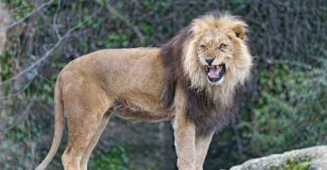 A Girl Was Reportedly Saved From Kidnapping And Rape...By Three Lions