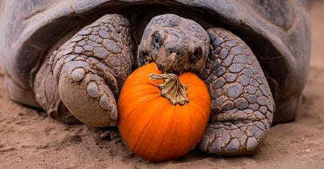 Celebrate Halloween with these century old tortoises eating pumpkins