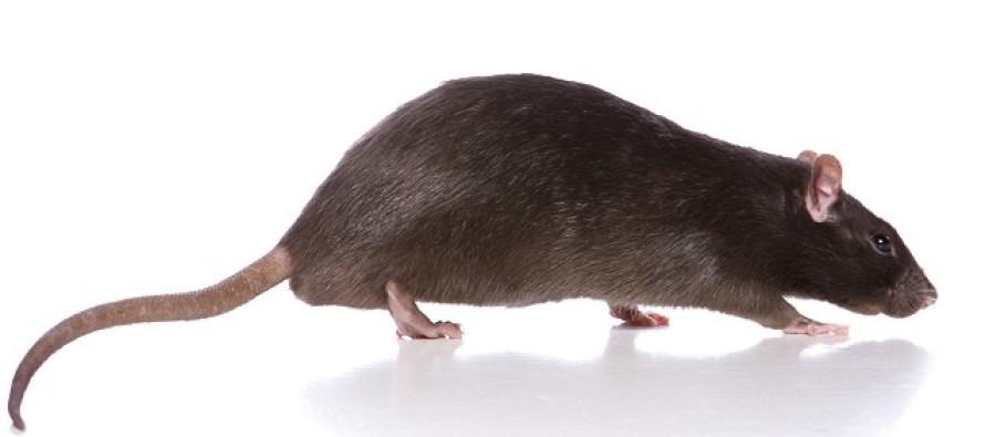 GROSS: Rat Found Stuck In Hotel Guest's TOILET