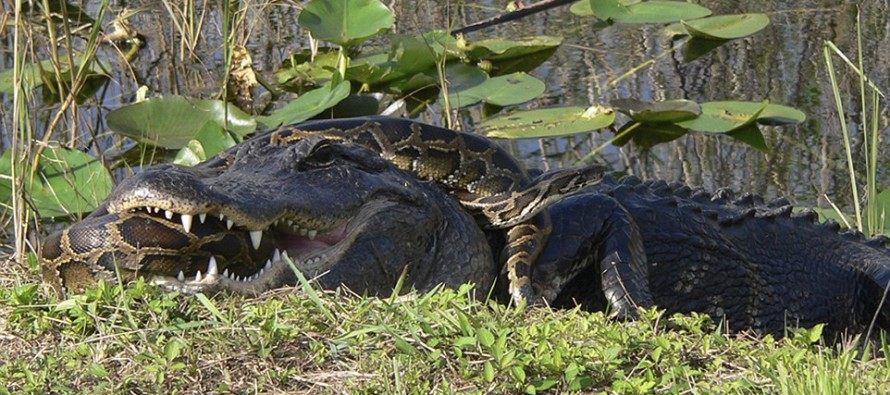 Fight to the Death: An Alligator and a Python Battle in the Everglades. Guess who wins…