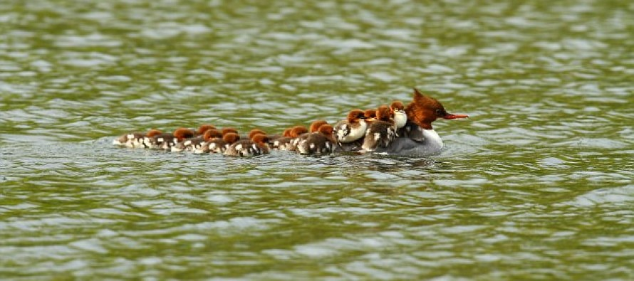 The duck who is running a taxi service: Mom seen giving 16 babies a lift across pond