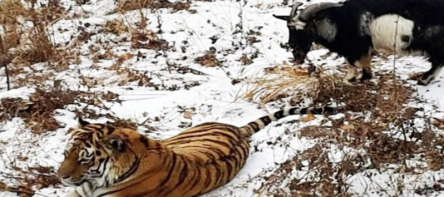 Billy Goat Put into Tiger's Lair as Lunch SURVIVES After the Two Animals Become Friends Instead