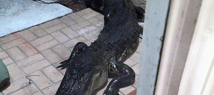 Terrifying: Dad Wakes Up In The Middle of the Night to Find 10ft ALLIGATOR Scratching at His Door