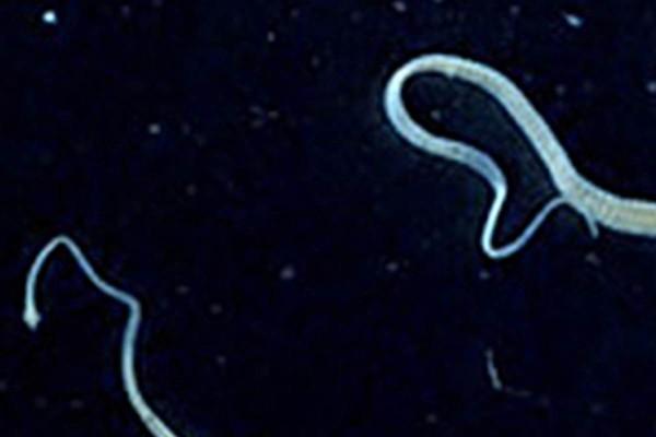 Ztapeworm