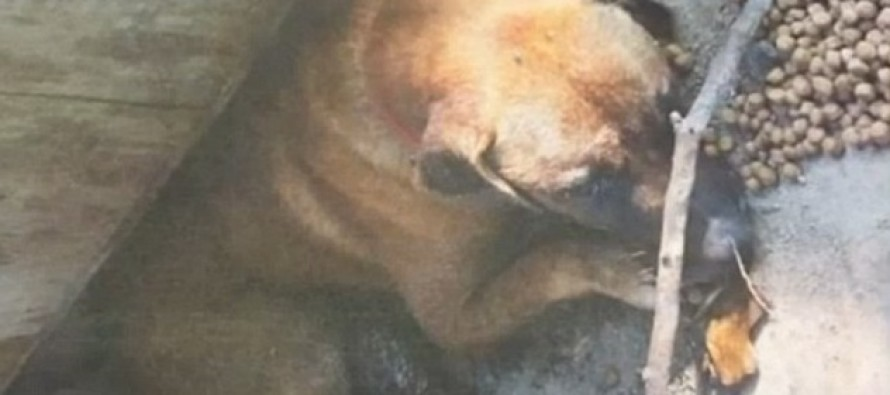Woman Faces Jail Time For Leaving Dog At The Mercy Of Fleas Who Drained His Blood