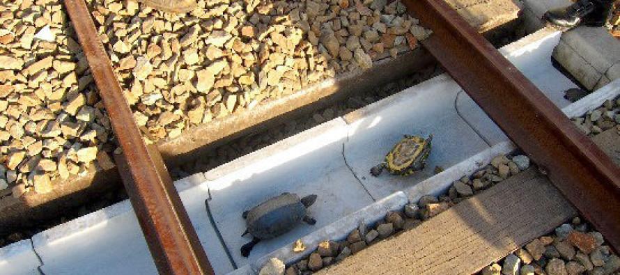 Turtles Saved From Sudden Death Thanks To New Train Lanes