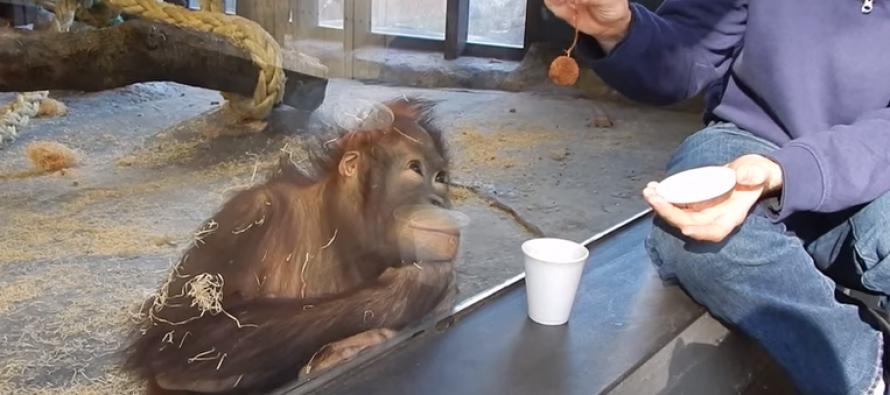 VIDEO: Simple Magic Trick Causes Orangutan to LOSE HIS MIND