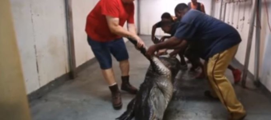 VIDEO: World Record Alligator Brought Down, And You'll Never Believe What Was Inside Him