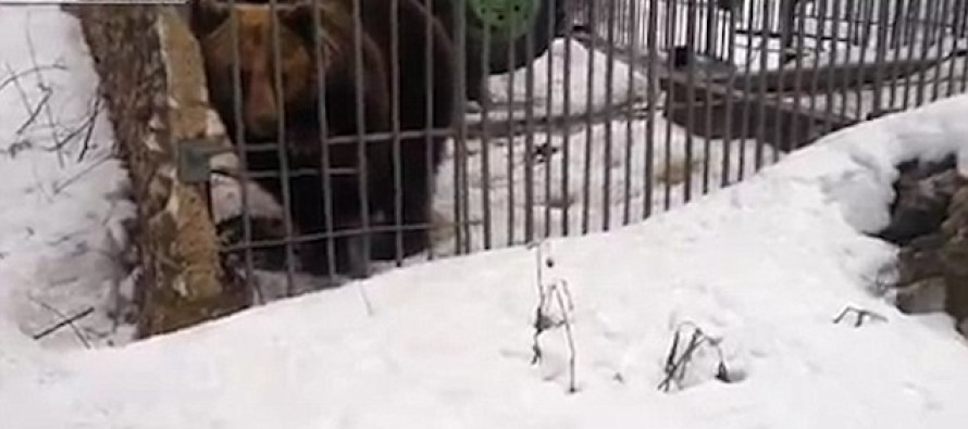 Video: Drunken Russian Makes The Biggest Mistake Of His Life When He Tries To Pet Caged Bear