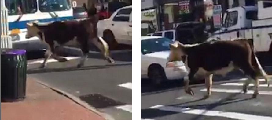 Escape from Queens… Runaway Cow on the Moove After Escaping Muslim Halal Slaughterhouse