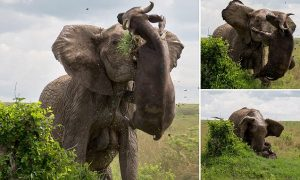 PIC BY KIM MAURER/ CATERS NEWS - (PICTURED: The elephant bull attacking the buffalo) - Thats got to hurt! Youve heard of a flying saucer, but what about a FLYING BUFFALO? This is the shocking moment an unsuspecting buffalo was tossed high into the air like a rag doll by a huge elephant. The buffalo came a little too close for comfort while stalking a herd of elephants in Masai Mara, Kenya.  Suddenly, the elephant bull snapped and went in for the kill - digging in his tusks and tossing the buffalo into the air with full force. SEE CATERS COPY.