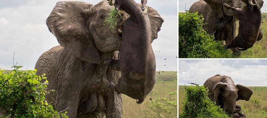 An argument against Tusk Control: Amazing photos of elephant IMPALING buffalo… then shaking it to death after it got too close to calves