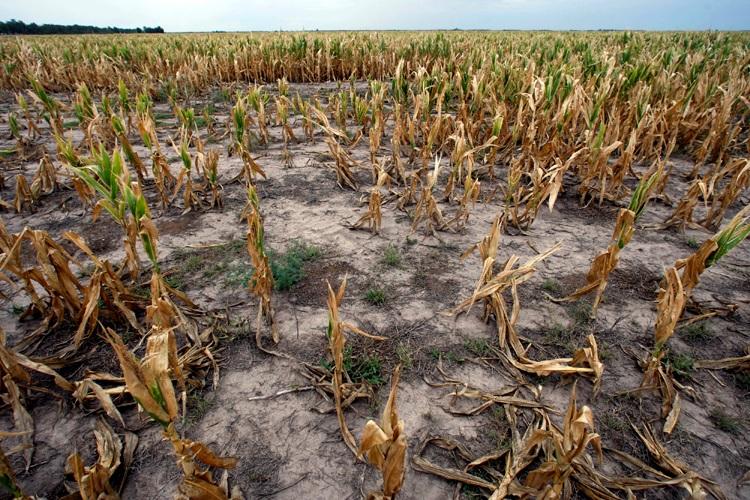 food scarcity cornfield 2